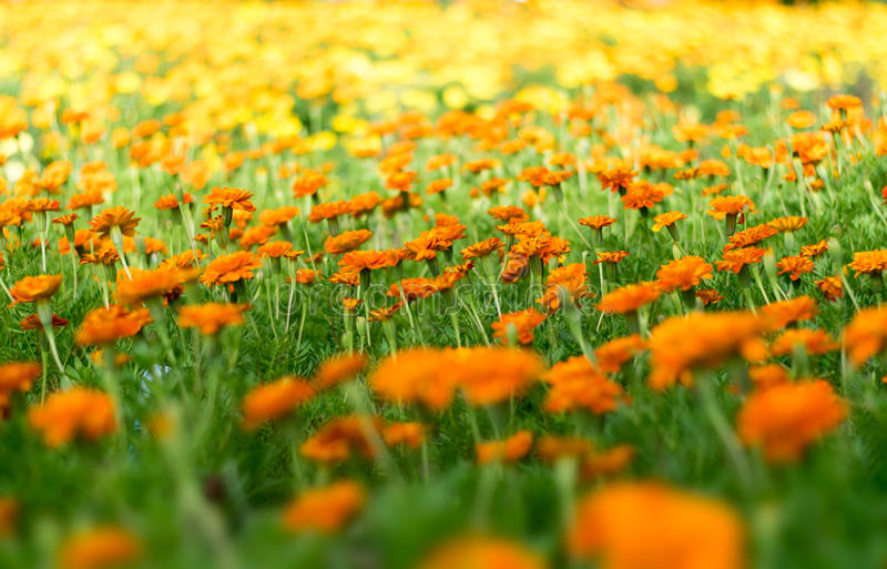 Beautiful Marigold flower plant in the park nature abstract style stock image