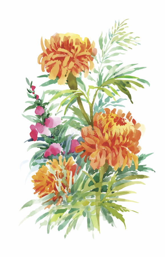 Beautiful Marigold Flower on white background. Watercolor stock illustration