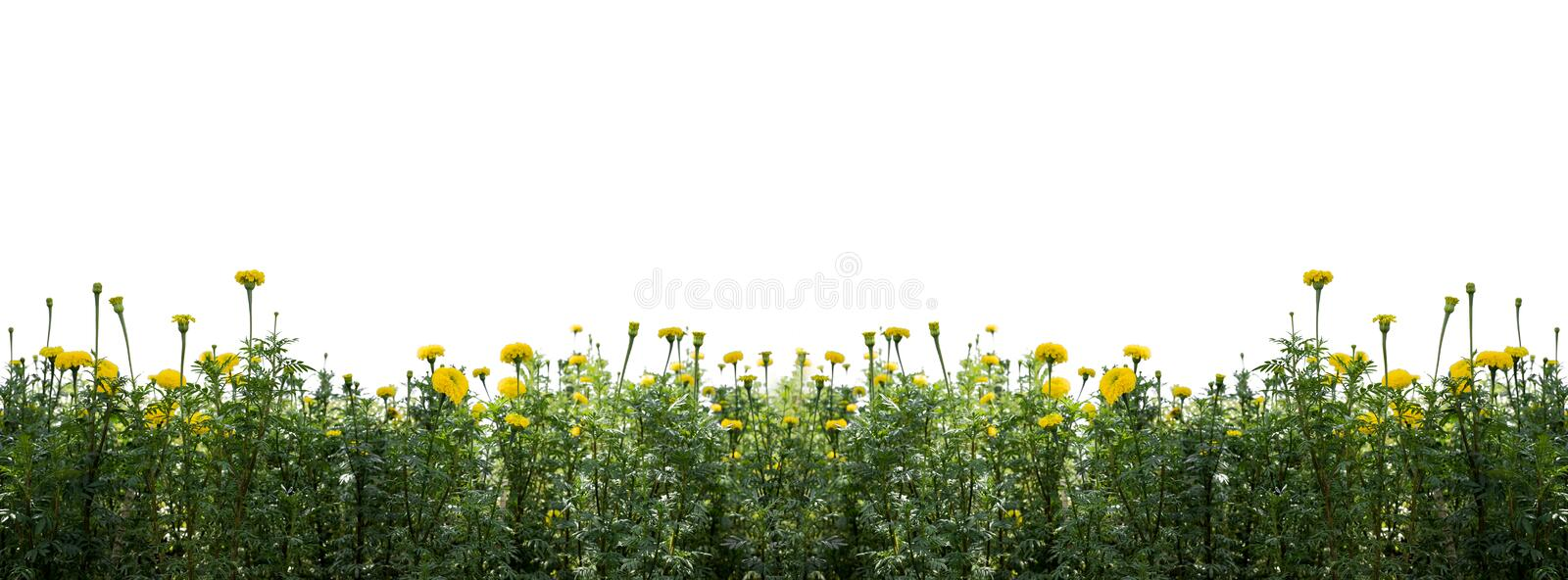 Marigold flowers isolated on white. Beautiful marigold flowers in the garden isolated on white background and cut out stock photos