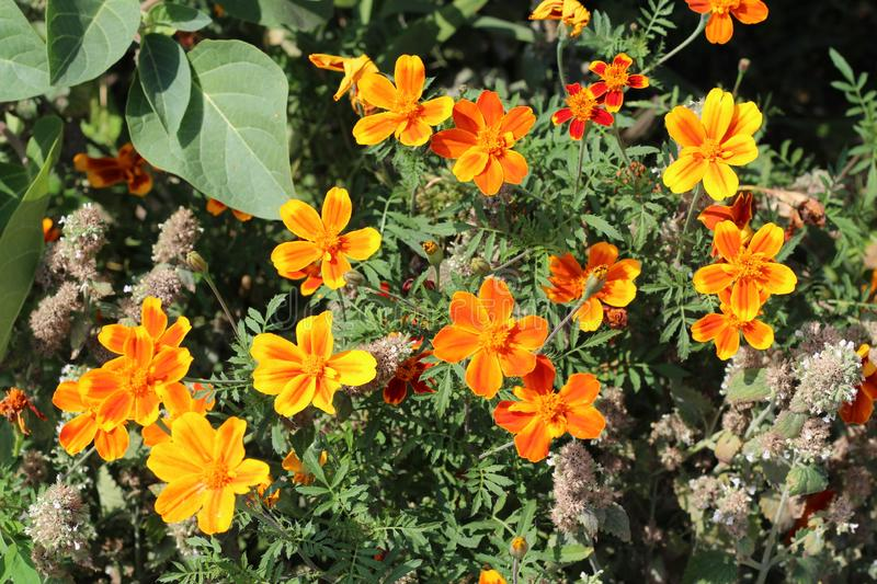 Beautiful marigolds blooming in the flower bed at home stock image