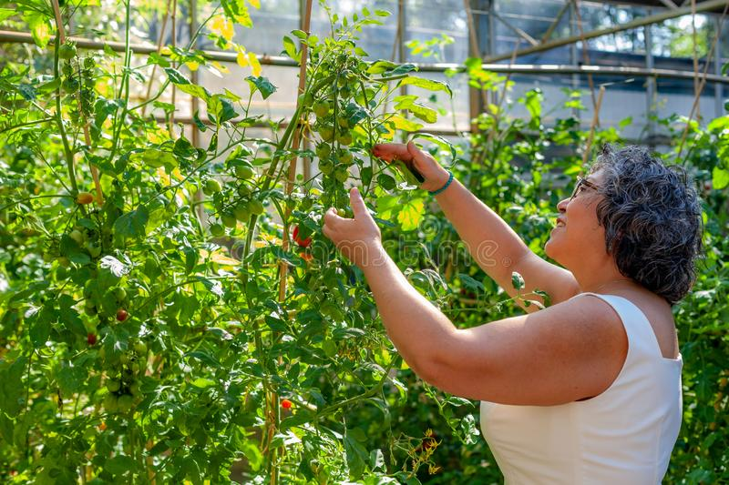 Beautiful mature Mexican woman contemplating her growing tomatoes in a greenhouse royalty free stock image