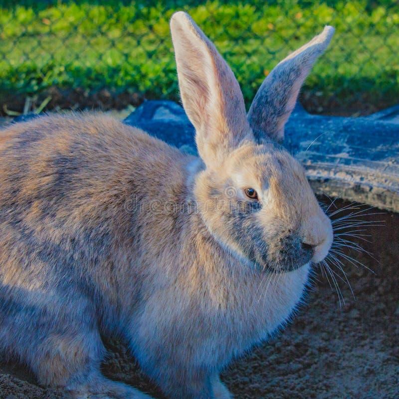 Beautiful mature rabbit close-up stock photos