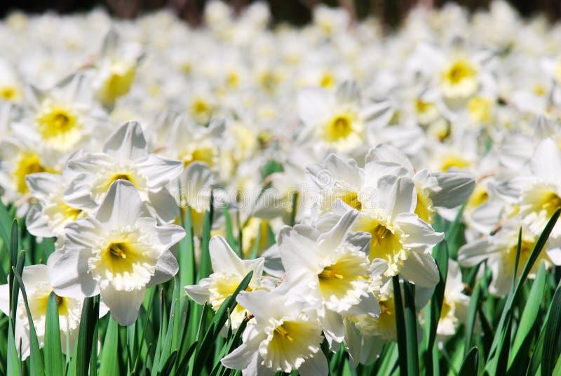 Blooming daffodils. Beautiful meadow with blooming daffodils near Yalta, Crimea stock photos