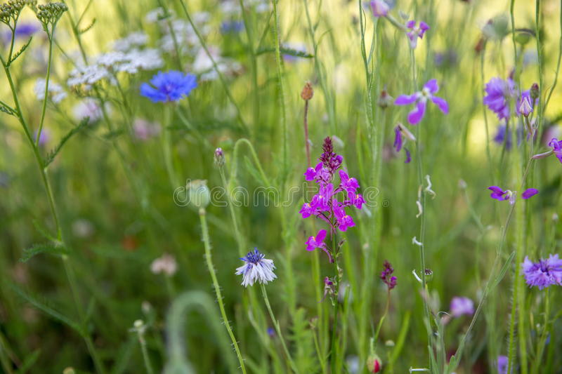 Beautiful meadow field with wild flowers. Spring Wildflowers closeup. Health care concept. Rural field. Alternative. Beautiful meadow field with wild flowers stock photos