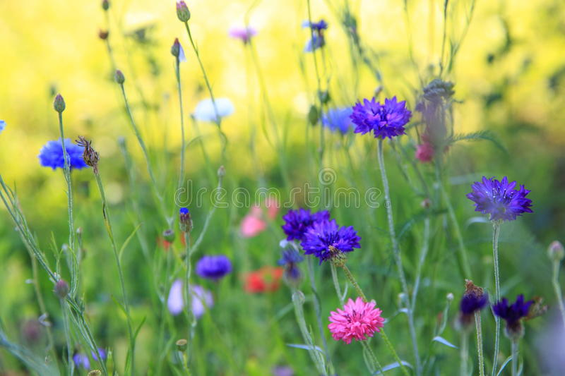 Beautiful meadow field with wild flowers. Spring Wildflowers closeup. Health care concept. Rural field. Alternative. Beautiful meadow field with wild flowers stock images