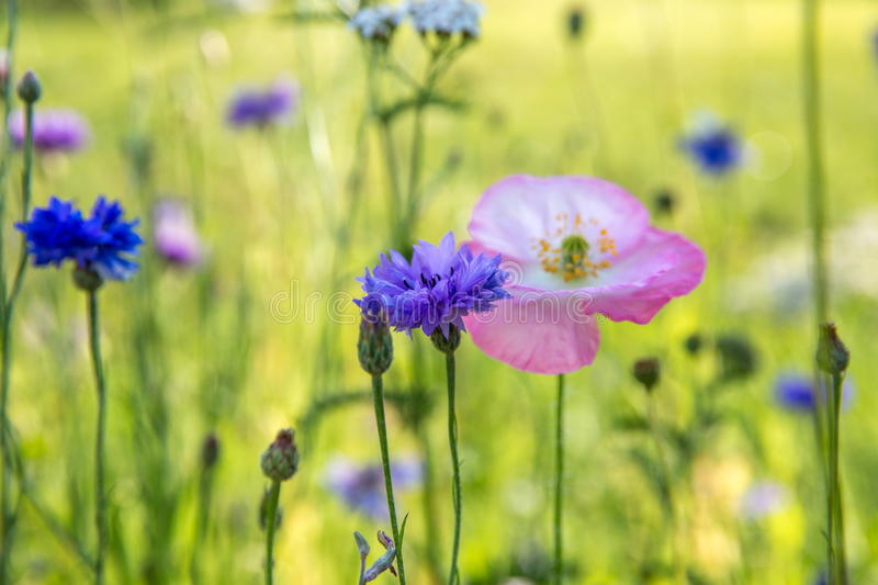 Beautiful meadow field with wild flowers. Spring Wildflowers closeup. Health care concept. Rural field. Alternative. Beautiful meadow field with wild flowers stock photo