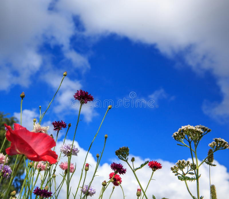 Beautiful meadow field with wild flowers. Spring Wildflowers closeup. Health care concept. Rural field. Alternative. Beautiful meadow field with wild flowers royalty free stock images