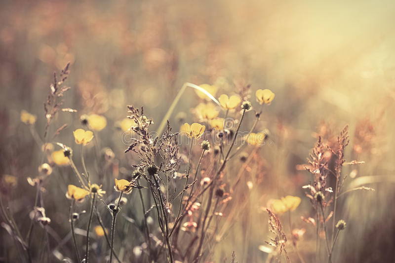 Beautiful meadow flower - yellow flowers royalty free stock photography