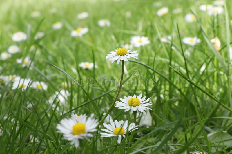 A beautiful meadow of full of daisies in czech park near river Moravka. A daisy is in the middle of grass and it is basic flower i royalty free stock image