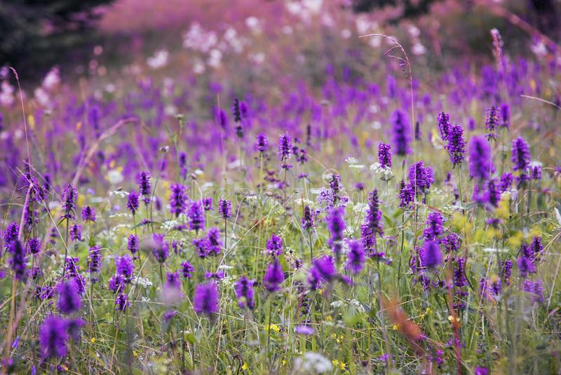 Beautiful meadow wild flowers landscape, purple flowers meadow , mountai nature vegetation, idyllic wild flowers field. Landscape royalty free stock photography