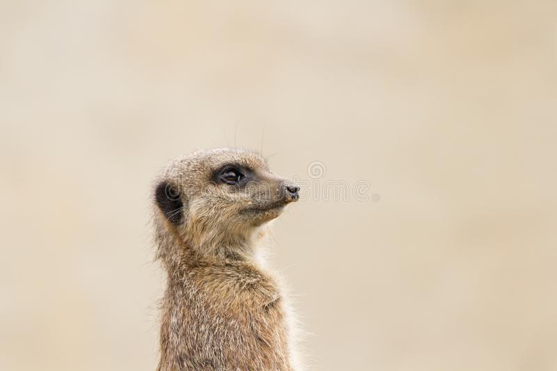 Beautiful Meerkat suricate suricatta Portrait with clean backg. Round Captive, UK royalty free stock photography