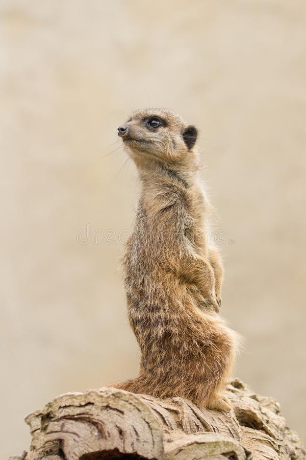Beautiful Meerkat suricate suricatta Portrait with clean backg. Round Captive, UK royalty free stock photo