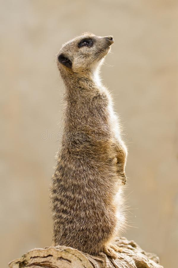Beautiful Meerkat suricate suricatta Portrait with clean backg. Round Captive, UK stock images