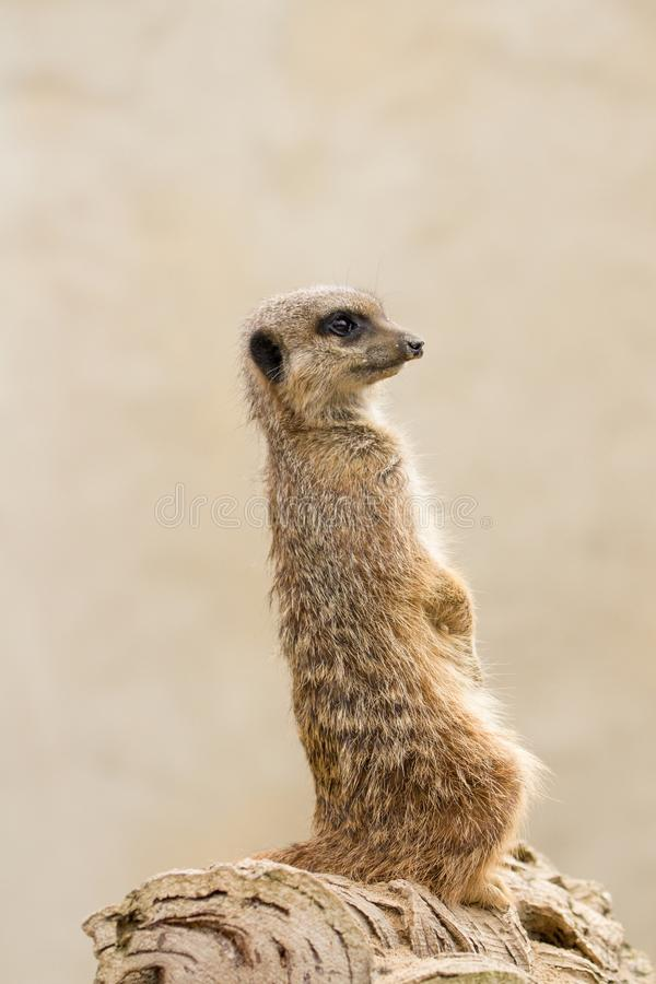 Beautiful Meerkat suricate suricatta Portrait with clean backg. Round Captive, UK royalty free stock image