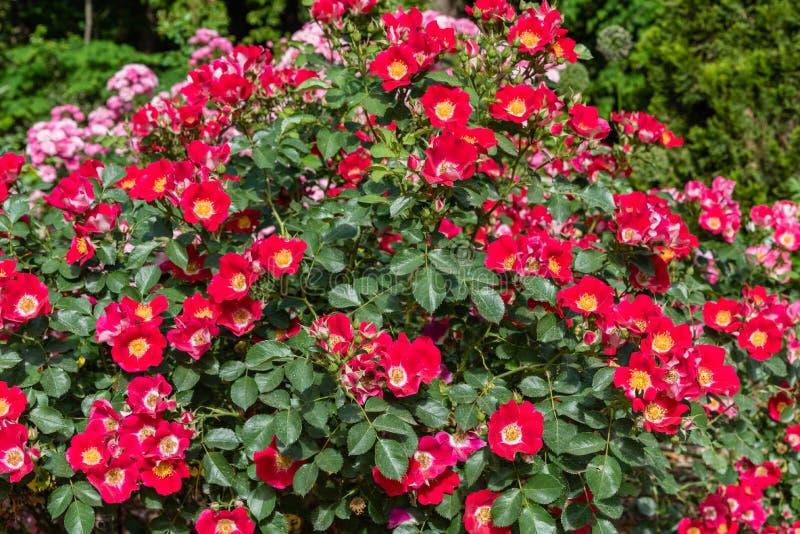 Beautiful `meizmea` rose bush at a botanical garden in Durham, North Carolina stock image