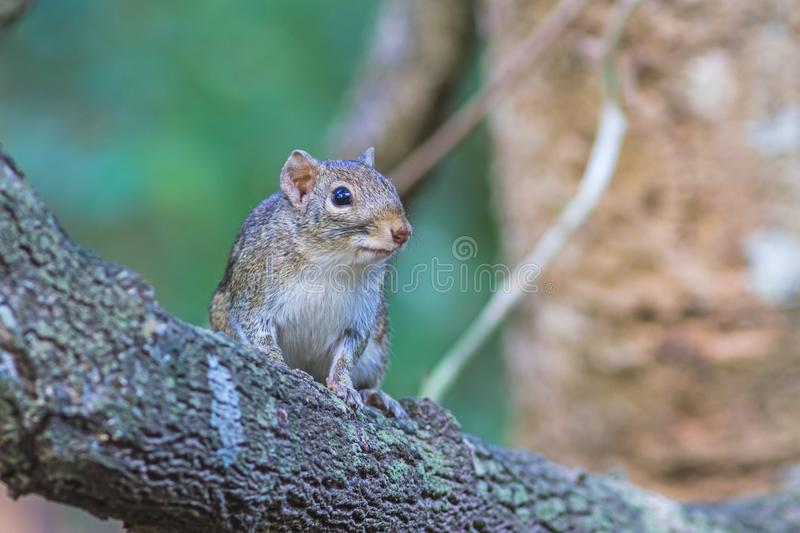 Beautiful of Menetes berdmorei Indochinese ground squirrel, Ber. Dmore`s ground squirrel , Burmese Striped Squirrel , Tamiops mcclellandii on branch in Doi stock image