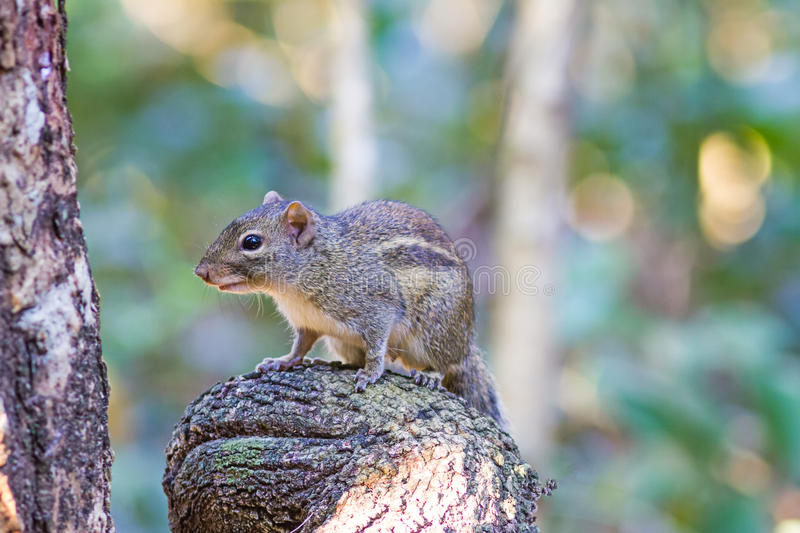 Beautiful of Menetes berdmorei Indochinese ground squirrel royalty free stock photos