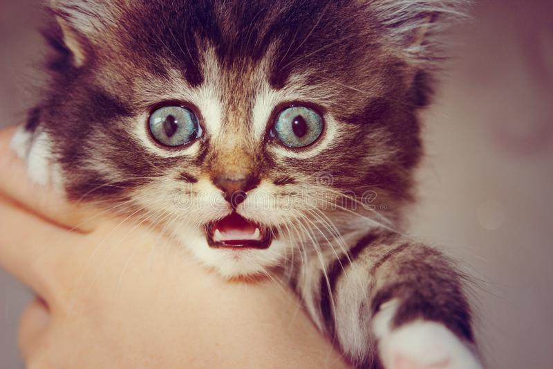 Gray kitten with big eyes royalty free stock photo