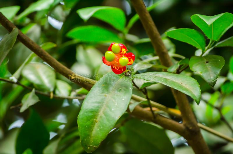 Mickey mouse plant red flower with its green seeds in a spring season at a botanical garden. A Beautiful Mickey mouse plant red flower or Ochna serrulata is an stock photography