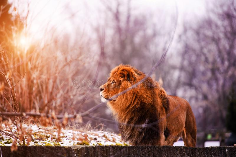 Beautiful Mighty Lion. Animal world stock photography
