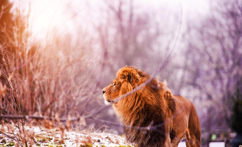 Beautiful Mighty Lion. Africa, aggressive, angry, animal, attentive, beasts, big, carnivore, cat, closeup, danger, dangerous, domestic, face, fang, feline, fur stock images
