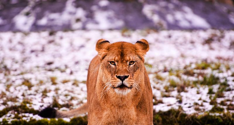 Beautiful Mighty Lion. Africa, aggressive, angry, animal, attentive, beasts, big, carnivore, cat, closeup, danger, dangerous, domestic, face, fang, feline, fur stock photography