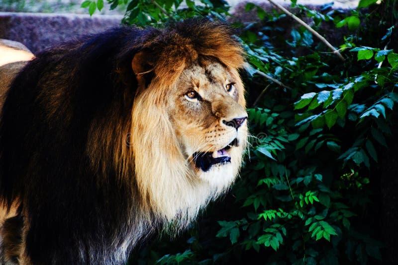 Beautiful Mighty Lion stock image