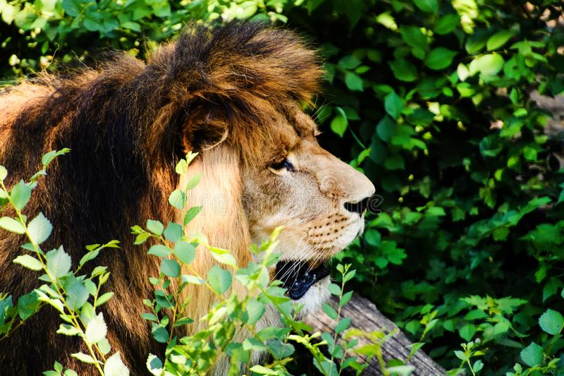 Beautiful Mighty Lion. Africa, aggressive, angry, animal, attentive, beasts, big, carnivore, cat, closeup, danger, dangerous, face, fang, feline, fur, growl royalty free stock photos