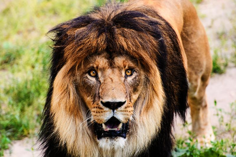 Beautiful Mighty Lion royalty free stock photos
