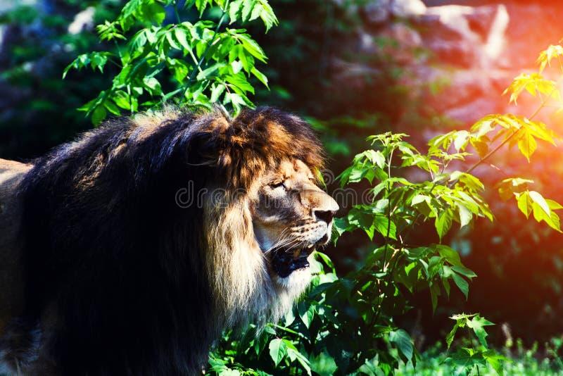 Beautiful Mighty Lion. Africa, aggressive, angry, animal, attentive, beasts, big, carnivore, cat, closeup, danger, dangerous, face, fang, feline, fur, growl stock photos