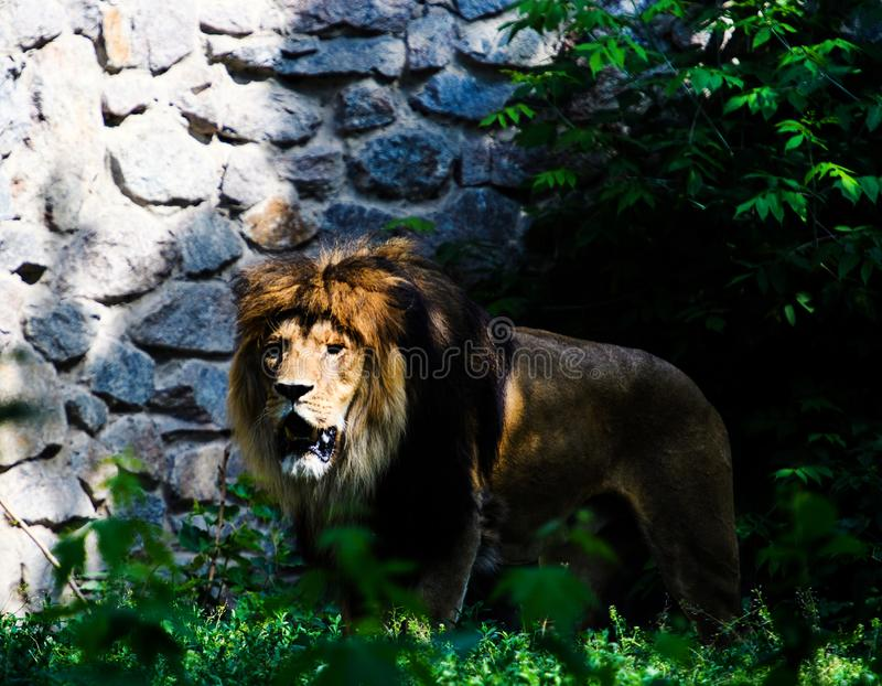 Beautiful Mighty Lion. Africa, aggressive, angry, animal, attentive, beasts, big, carnivore, cat, closeup, danger, dangerous, face, fang, feline, fur, growl royalty free stock photography
