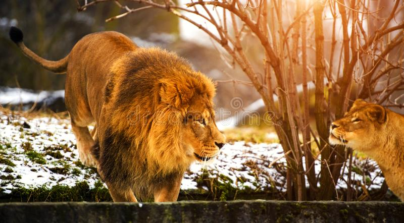 Beautiful Mighty Lion. Africa, aggressive, angry, animal, attentive, beasts, big, carnivore, cat, closeup, danger, dangerous, domestic, face, fang, feline, fur royalty free stock image