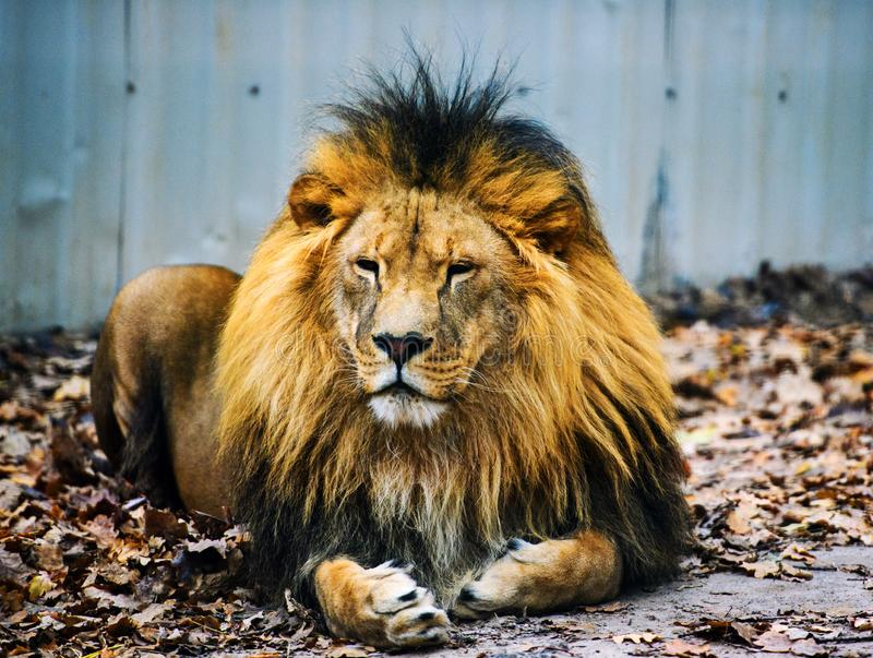 Beautiful Mighty Lion. Africa, aggressive, angry, animal, attentive, beasts, big, carnivore, cat, closeup, danger, dangerous, domestic, face, fang, feline, fur royalty free stock photo