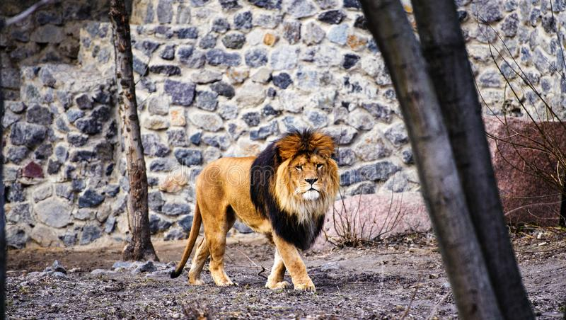 Beautiful Mighty Lion. Domestic, africa, aggressive, angry, animal, attentive, beasts, big, carnivore, cat, closeup, danger, dangerous, face, fang, feline, fur royalty free stock image