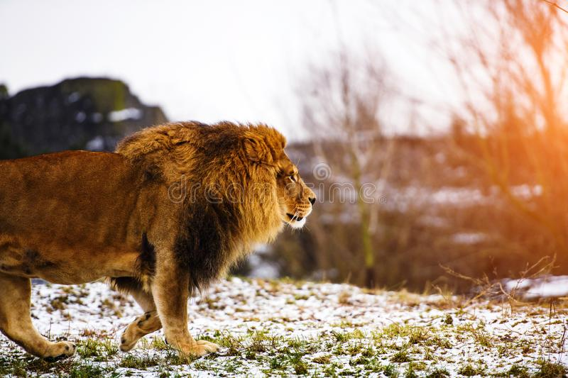 Beautiful Mighty Lion. Africa, aggressive, angry, animal, attentive, beasts, big, carnivore, cat, closeup, danger, dangerous, face, fang, feline, fur, growl stock photography