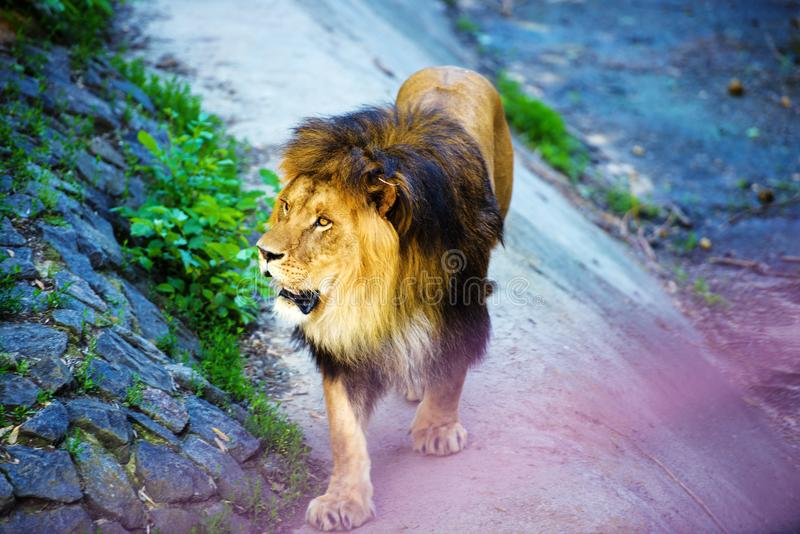 Beautiful Mighty Lion. Africa, aggressive, angry, animal, attentive, beasts, big, carnivore, cat, closeup, danger, dangerous, face, fang, feline, fur, growl royalty free stock images