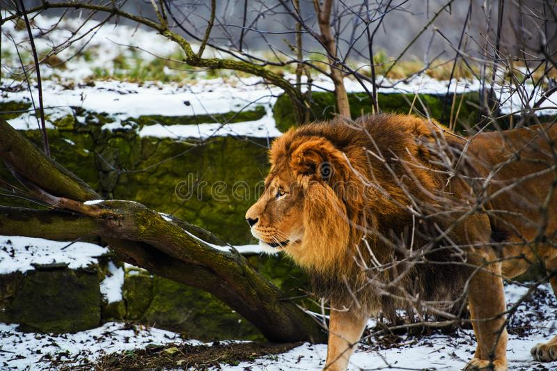 Beautiful Mighty Lion. Domestic, africa, aggressive, angry, animal, attentive, beasts, big, carnivore, cat, closeup, danger, dangerous, face, fang, feline, fur royalty free stock photo