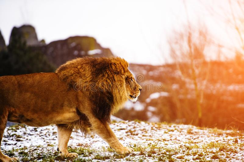 Beautiful Mighty Lion. Domestic, africa, aggressive, angry, animal, attentive, beasts, big, carnivore, cat, closeup, danger, dangerous, face, fang, feline, fur royalty free stock photography