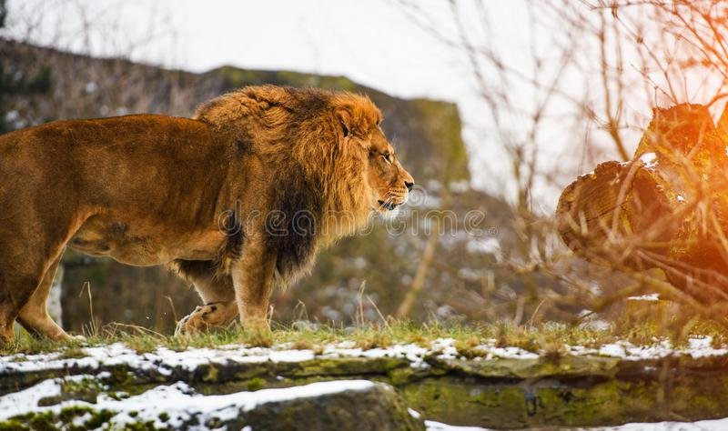 Beautiful Mighty Lion. Africa, aggressive, angry, animal, attentive, beasts, big, carnivore, cat, closeup, danger, dangerous, domestic, face, fang, feline, fur royalty free stock photography