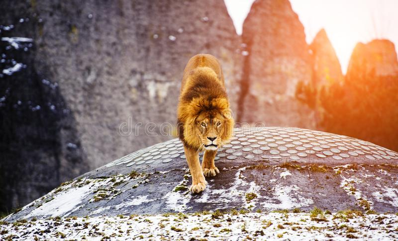Beautiful Mighty Lion. Africa, aggressive, angry, animal, attentive, beasts, big, carnivore, cat, closeup, danger, dangerous, face, fang, feline, fur, growl royalty free stock photo