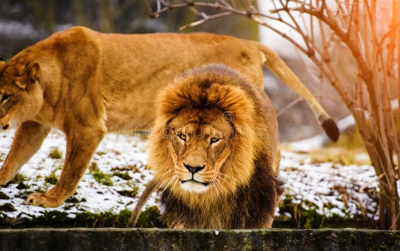 Beautiful Mighty Lion. Domestic, africa, aggressive, angry, animal, attentive, beasts, big, carnivore, cat, closeup, danger, dangerous, face, fang, feline, fur stock photos