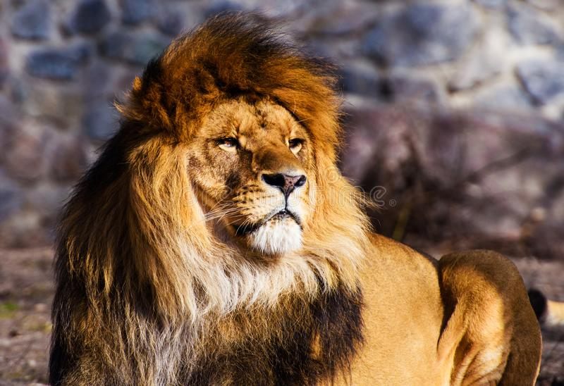 Beautiful Mighty Lion. Africa, aggressive, angry, animal, attentive, beasts, big, carnivore, cat, closeup, danger, dangerous, domestic, face, fang, feline, fur royalty free stock images
