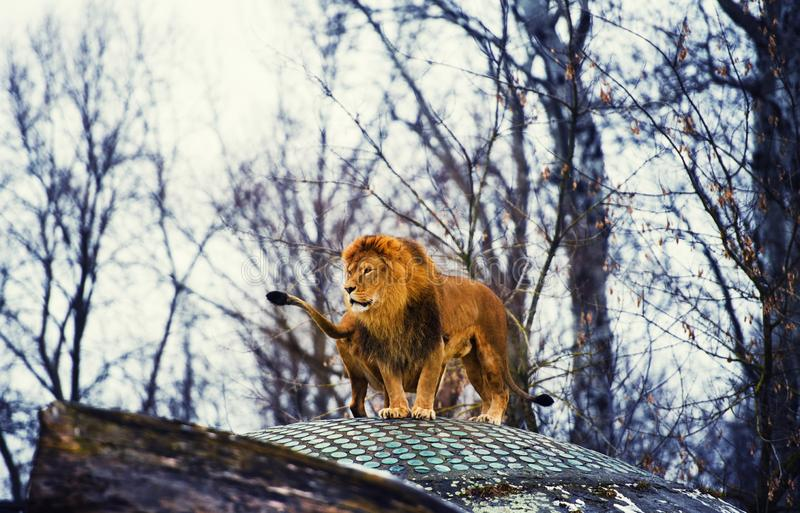 Beautiful Mighty Lion. Africa, aggressive, angry, animal royalty free stock photo