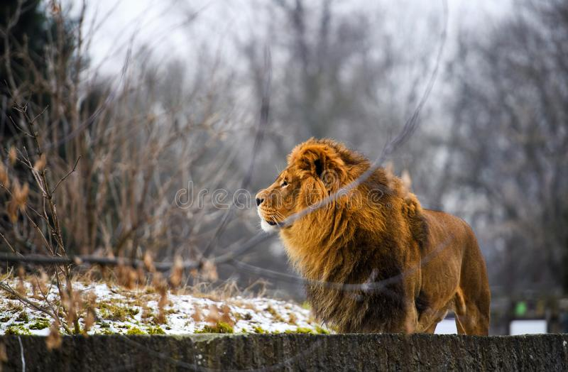 Beautiful Mighty Lion. Africa, aggressive, angry, animal, attentive, beasts, big, carnivore, cat, closeup, danger, dangerous, domestic, face, fang, feline, fur stock image