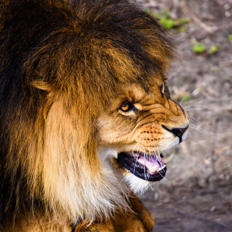 Beautiful Mighty Lion. Africa, aggressive, angry, animal, attentive, beasts, big, carnivore, cat, closeup, danger, dangerous, domestic, face, fang, feline, fur stock photo
