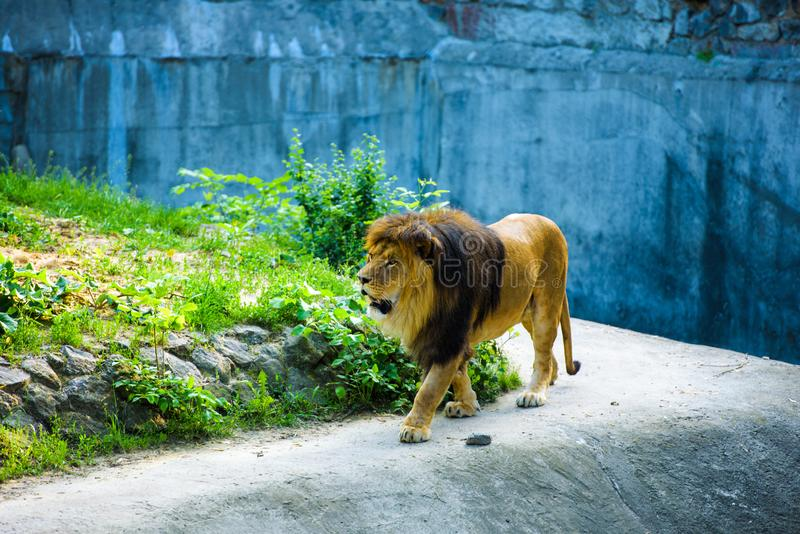 Beautiful Mighty Lion stock photography