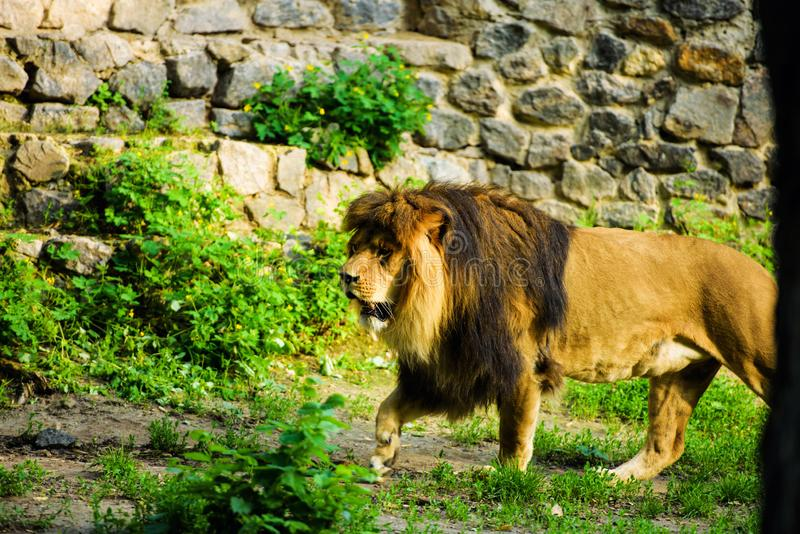 Beautiful Mighty Lion royalty free stock images