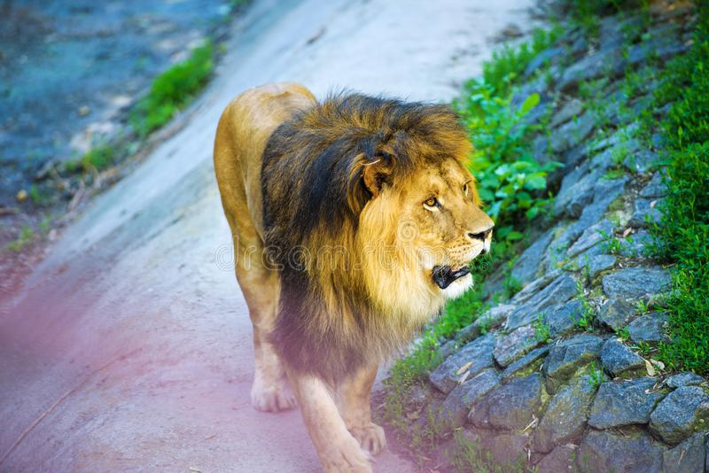 Beautiful Mighty Lion royalty free stock photography