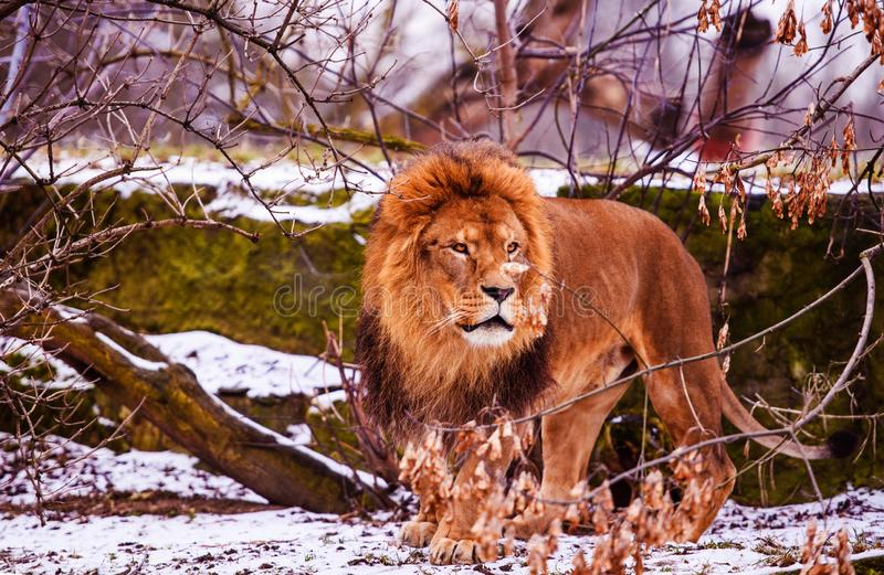 Beautiful Mighty Lion. Big cat. Strong and powerful animal royalty free stock photo