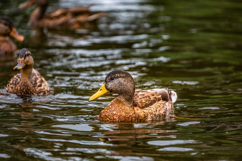 Wild ducks swimming in the water stock image